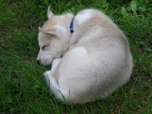 Koiranpentua unettaa