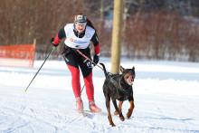 Koira vetää hiihtäjää.