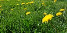 Kesäisiä voikukkia nurmikolla